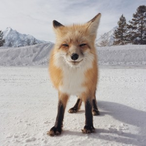 Un renard qui sourit