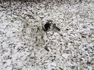 Dalmatien sur tapis de feuilles mortes