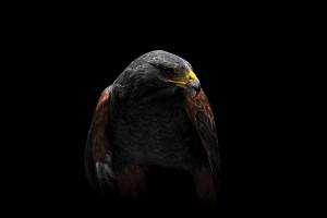Hawk - Rapace